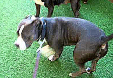 Devore Dominant pitbull pup meets 2 female bullies